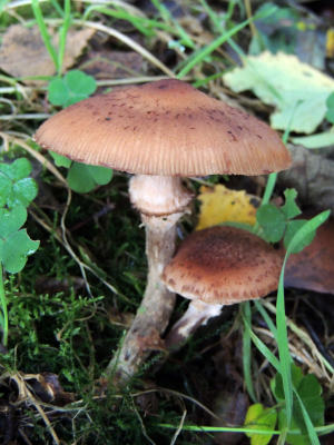 brown slightly pointed fungus