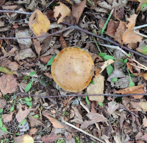 brown spotted fungus