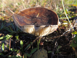 dark brown topped fungus