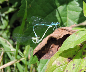 pair of damselflies