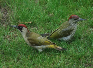 Green woodpeckers