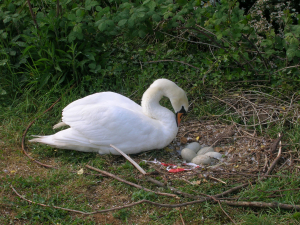 Mute swan nest with eggs