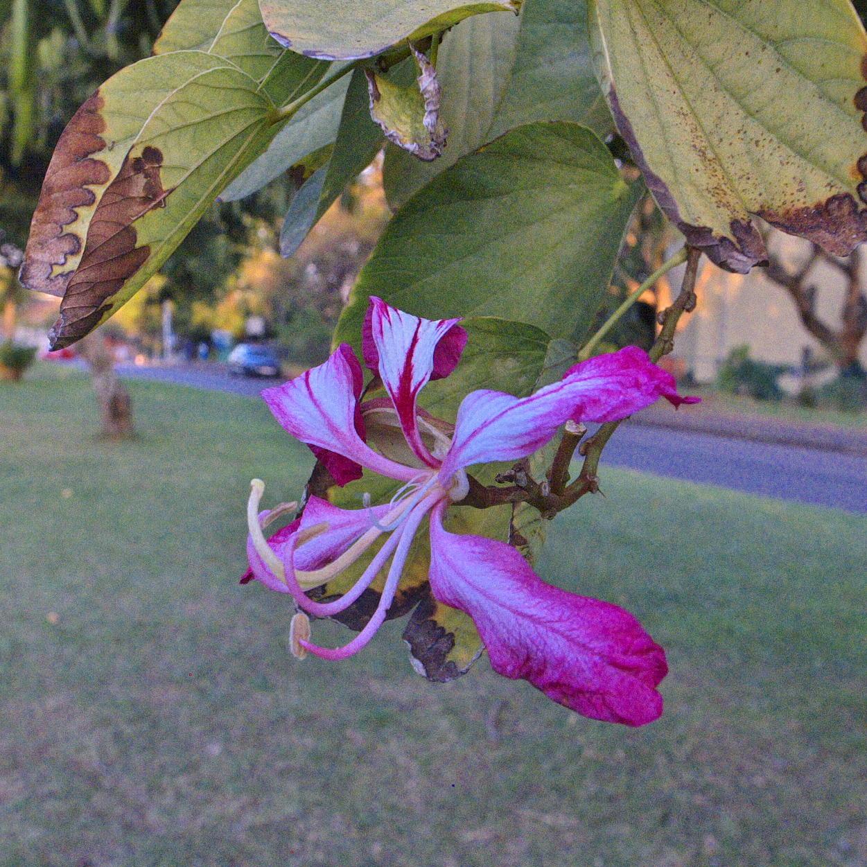 bauhinia purpurea observation southern africa ispot