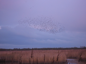 Starling roost at Otmoor
