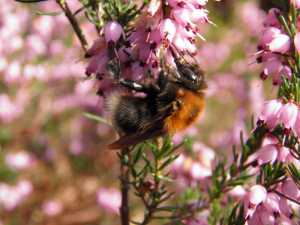 Bombus hypnorum - Foxcombe Hall