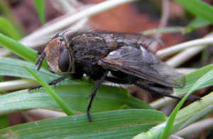 tachinid fly, Gonia picea - Buckinghamshire