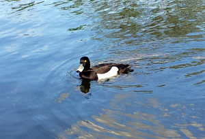 Tufted Duck, London