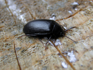 beetle Prionychus ater, Buckinghamshire