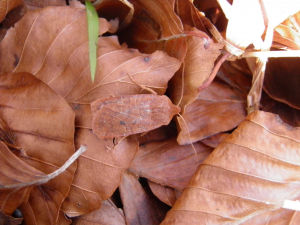 Where do Chestnuts go in winter?