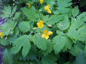 Greater Celandine, Buckinghamshire
