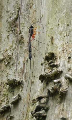 Ichneumonid wasp drilling in dead tree