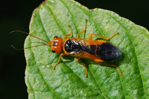 SAWFLY - but which one ?