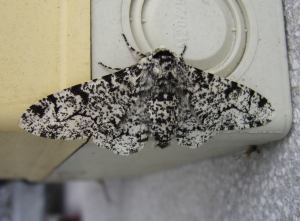 Peppered Moth_Biston betularia