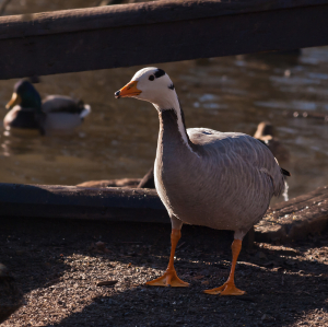 Unknown Goose