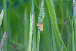 Small moth, in a corn field