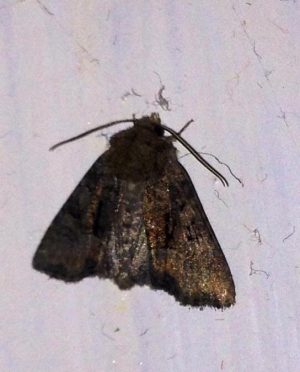 Doorframe moth