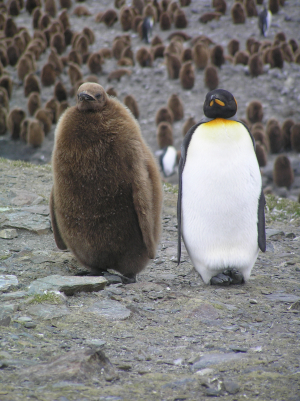 King Penguin at St Andrews Bay, South Georgia