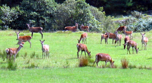 Farmed red deer