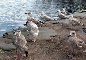 Juvenile Herring Gulls in group