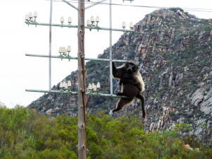 So this is the baboon that charged me.
