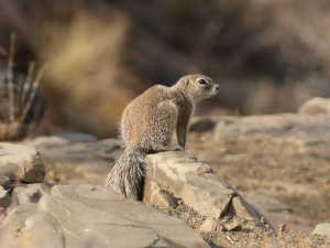 Mountain ground squirrel, Berg-grondeekhoring
