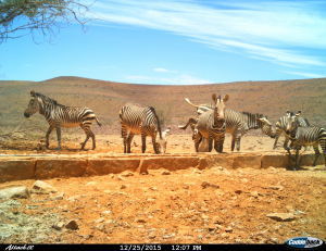 Three mammal species at trough - Hartmann's mountain zebra