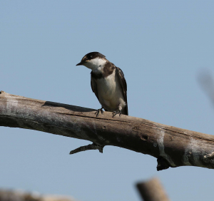White-throated swallow, Witkeelswael