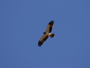 Booted eagle, Dwergarend