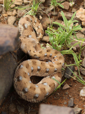 Horned adder, Horingadder