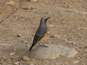 Shorttoed rock thrush, Korttoonkliplyster