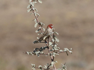 Redheaded finch, Rooikopvink