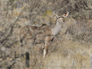 Greater kudu, Koedoe