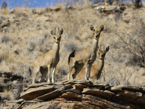 Klipspringer family