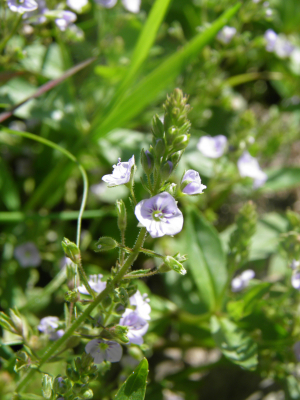 Blue water speedwell?