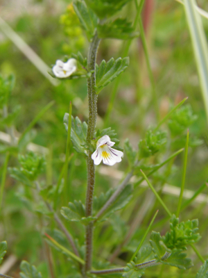 Eyebright, which species?