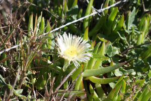 Carpobrotus delicious