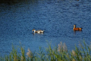 HELP   A shelduck and WHAT ??