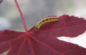 Catterpillar on Japanese Maple