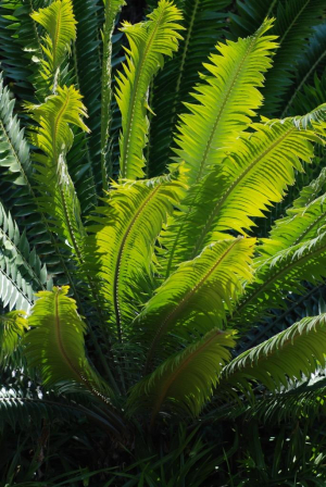 Cycad Pests