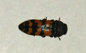 Red banded buprestid