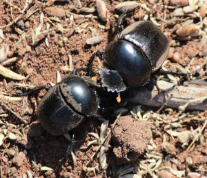 dung beetles fighting