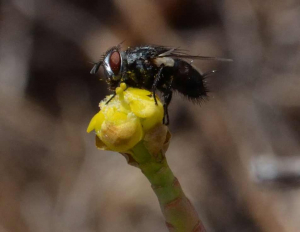 Fly on Euphorbia mauritanica