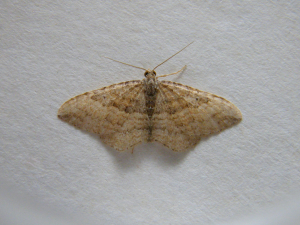 Moth-Orthonama sp