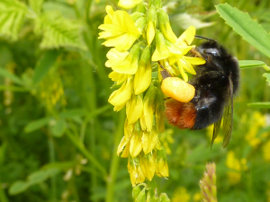 Large Red Tailed Bumble Bee