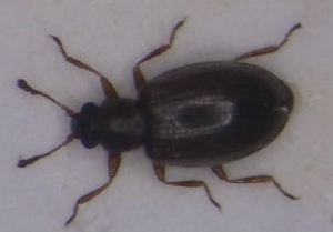 Beetle, possibly Lathridiidae?