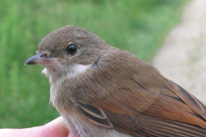 Whitethroats