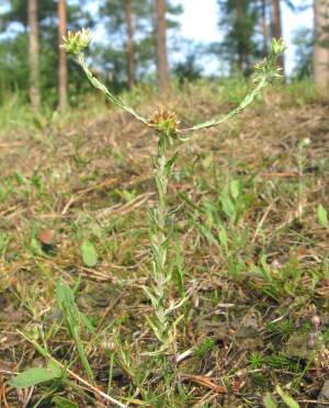 Common Cudweed