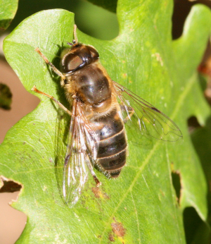 Late hoverfly #2