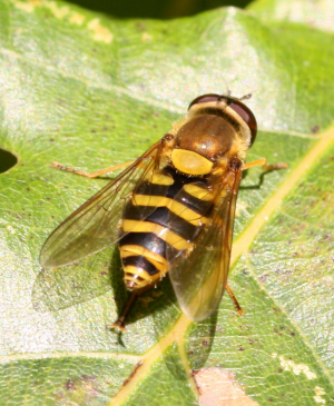 Late hoverfly #3