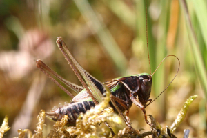 Bog Bush Cricket